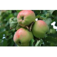 Buy cheap Delicious Big Organic Green Apple Crispy , Suitable Sour / Sweet For Supermarket from wholesalers