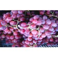 Quality Thin Skin Concord Black / Red Globe Grapes 26 - 28mm Rich Vitamins, The average single-grain weight 10 grams for sale
