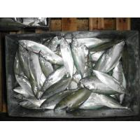 Quality Frozen WR Indian Mackerel Fish For Marketing with Good Quality. for sale