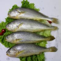 Wholesale new catching frozen fish whole round yellow croaker from China on sale. from china suppliers