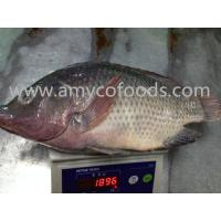 Wholesale High quality low price fozen tilapia whole round processed from alive fish from china suppliers
