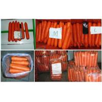 Wholesale Nutritional Value Organic Carrot Fresh Containing Beta-Carotene , Dietary Fiber Fresh Vegetable, Flesh thick from china suppliers