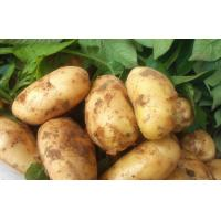 Wholesale Good Taste Juicy Organic Potatoes Long Shelf Life , No Insect For Export from china suppliers