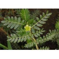 Wholesale Tribulus Terrestris Extract from china suppliers