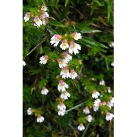 Wholesale Eyebright Extract 10:1 high quality to improve vision and eyes conditions from china suppliers