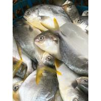 Wholesale 600-800g Frozen Golden Pompano Pomfret Fish Products Supplied with Competitive Price. from china suppliers
