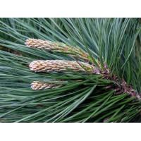 Wholesale Pine needle extract, Pinus leaf extract, 10:1 TLC, natural antioxidant property, Anti-wrinkle, skin care, manufacturer from china suppliers