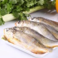 Quality Frozen best whole round fish yellow croaker with lower price on sale. for sale