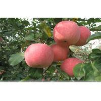 Wholesale Quercetin, epicatechin, and procyanidin B2 Nutrition Fuji Apple important flavonoids in apples from china suppliers