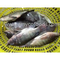 Wholesale Frozen tilapia WR high quality with low price from china suppliers