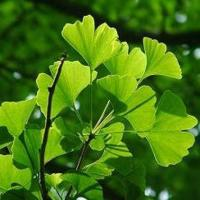 Wholesale Ginkgo Biloba Extract from china suppliers