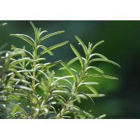 Wholesale Natural and pure Rosemary Essential Oil from Rosmarinus officinalis L from china suppliers