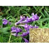 Buy cheap Baical skullcaproot P.E., Baicalin 85%, natual herb cosmetic ingredients,CAS NO.:21967-41-9,nhibit melanin,UV ABSORPTIon from wholesalers