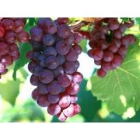 Wholesale China supply Grape seed P.E., grape seed extract, Procyanidolic≥95.0%;OPC≥95.0% from china suppliers