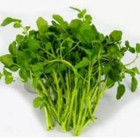 Wholesale Nasturtium P.E./ Watercress Extract, stop coughing, diuresis, beneficial to brain, treat dysphoria, 10:1, herbs extract from china suppliers