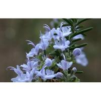 Wholesale ROSEMARY OIL / Aromatherapy Essential Oils for Skin Care from china suppliers
