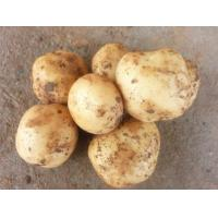 Wholesale Fresh Yellow Organic Long Potatoes With Complete Body / Rich Starch from china suppliers