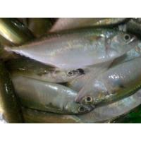 Quality Good quality frozen Indian mackerel fish supplier with competitive price. for sale
