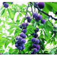 Quality Dietary Supplement Ingredient 25% Blueberry Extract Anthocyanidins 100% Natural for sale