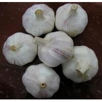 Quality Fresh Pure White Garlic for sale