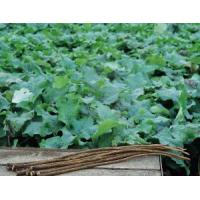 Wholesale Burdock Root from china suppliers