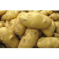 Wholesale Pure Natural Fresh Holland Potato Yellow Flesh , Thin Skin For Human Health from china suppliers