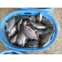 Wholesale frozen tilapia fish frozen gutted and scaled tilapia fish on sale from china suppliers