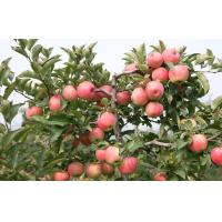 Wholesale Thin Skin Juicy Organic Fuji Apple Contains Phosphorus For Apple Pie / Crumble from china suppliers