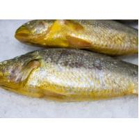 Quality High Quality Frozen Big Yellow Croaker Whole Round Hot Sale (Pseudociaena Polyactis). for sale
