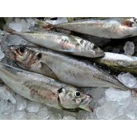 Wholesale High Quality Whole Round Frozen Horse Mackerel Fish with size 130-200g. from china suppliers