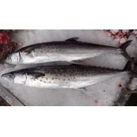 Wholesale New arrival scomber Japonicus frozen pacific mackerel price 15kg/ctn. from china suppliers