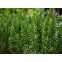 Wholesale Rosemary Extract, Carnosic Acid 5%-95% HPLC, CAS No.: 3650-09-7, high quality , Chinese manufacturer, Shaanxi Yongyuan from china suppliers