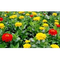 Quality 20%-50% Tagetes Erecta Extract ( Lutein ) ,  Natural Dietary Supplement Ingredient for sale