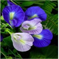 Wholesale Butterfly pea Extract, Butterfly pea Powder, Blue Powder, Chinese manufacturer, Shaanxi Yongyuan Bio-Tech from china suppliers