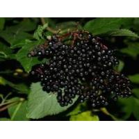 Wholesale Elderberry Extract, Anthocyanin 25%, 5:1, 10:1, natural antioxidant, Shaanxi Yongyuan Bio-Tech, Chinese exporter from china suppliers