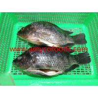 Wholesale High quality low price fresh tilapia GS processed from alive fish from china suppliers