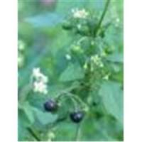 Wholesale Black NightShade from china suppliers