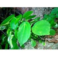 Wholesale Bulk herb for sale Pilea cavaleriei H Lév traditional chinese herb online store Shi you cai from china suppliers