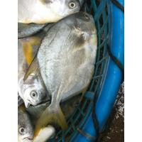 Wholesale IQF Frozen Whole Round Golden Pompano Fish Pomfret Products For Sale. from china suppliers