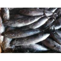 Wholesale Frozen Whole Bonito Fish from china suppliers