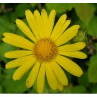 Wholesale Arnica Flower Extract 10:1  used for skin care products, skin fresheners, shampoos, from china suppliers