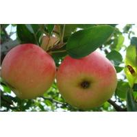 Wholesale Nutritional Value Organic Vitamin Red Star Apple Preventing Lung Cancer from china suppliers
