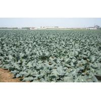 Wholesale Organic IQF Green Organic Frozen Broccoli Anti-Carcinogenic , Plastic Sheeting, Nutritious from china suppliers