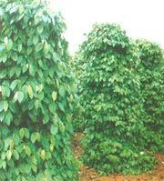 Buy cheap Piperine from wholesalers