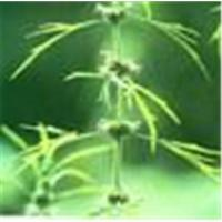 Wholesale Motherwort Extract from china suppliers