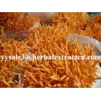 Wholesale Cordyceps Sinensis Extract,Polysaccharides 15%, Enhance immunity, Reishi Mushroom Extract ,Polysaccharides 30%, Chinese from china suppliers