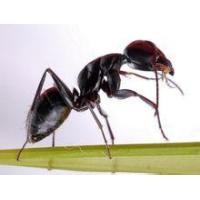 Wholesale Black Ant Extract Polyrhachis vicina Roger, 10:1 high quality from china suppliers