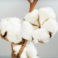 Quality mepiquat chloride using for increaing cotton yield for sale