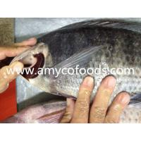 Wholesale High quality low price fozen tilapia WR processed from alive fish from china suppliers