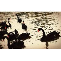 Wholesale Oil Painting-Swans from china suppliers